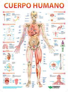 4-Cuerpo-Humano